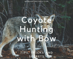 Coyote Hunting with Bow