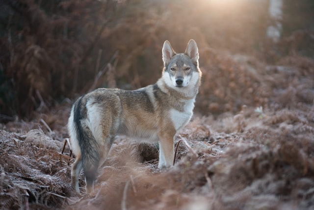Coyote hunting with bow Tips Tricks and Secrets